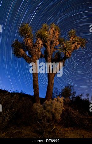 Joshua Baum vor dem Hintergrund der Norden ausgerichtet Sternspuren in Joshua Tree Nationalpark, Kalifornien. - Stockfoto