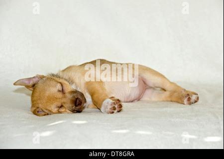 Chihuahua-Mix Welpen auf einer Decke schlafen - Stockfoto