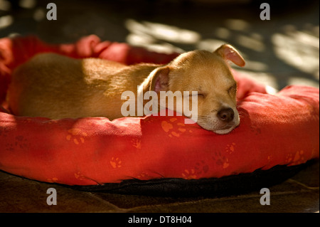 Chihuahua-Mix Welpen (8 Wochen alt) schläft auf einem Tierbett - Stockfoto
