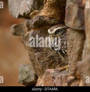 Steinkauz (Athene Noctua), Gefangenschaft, Tschechische Republik - Stockfoto