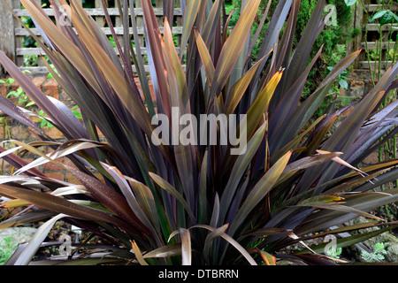 Phormium schwarze Kreuzotter Neuseeland Flachs Laub Blätter dunkel lila aufrecht