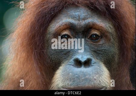 Porträt von einer nachdenklichen Orang-Utan im Zoo von Singapur - Stockfoto