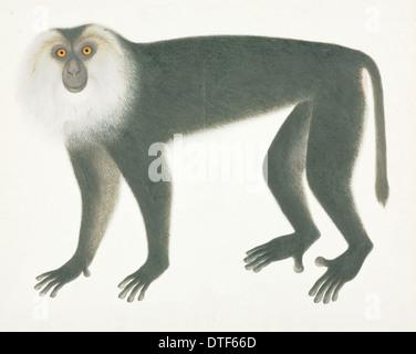 Löwe-behaarte Makaken, Macaca Silenus c. 1820: John Reeves Collection (Zoologie) - Stockfoto