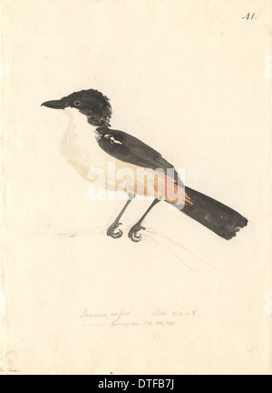 Lanarius Ferrugineus, südlichen boubou - Stockfoto