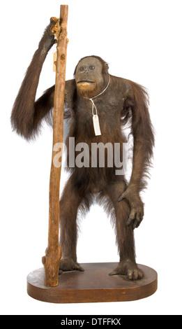 Pongo Pygmaeus, Bornean orangutan - Stockfoto