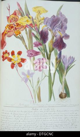 Gladiolen SP, Mais-Flagge. - Stockfoto