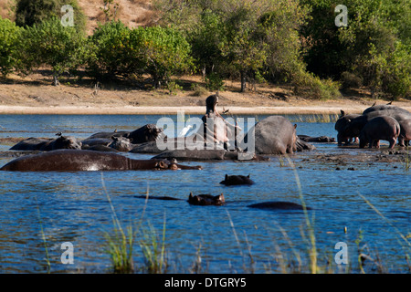 Von Victoria Falls ist möglich, die nahe gelegenen Botswana zu besuchen. Speziell im Chobe-Nationalpark. Flusspferde - Stockfoto