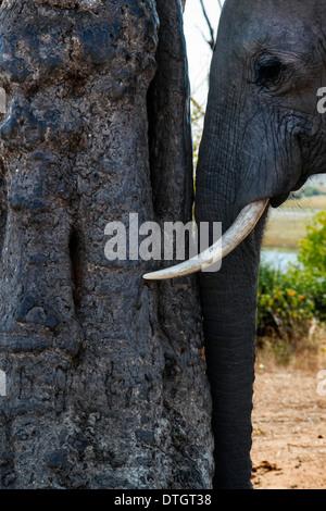 Von Victoria Falls ist möglich, die nahe gelegenen Botswana zu besuchen. Speziell im Chobe-Nationalpark.  Ein Elefant - Stockfoto