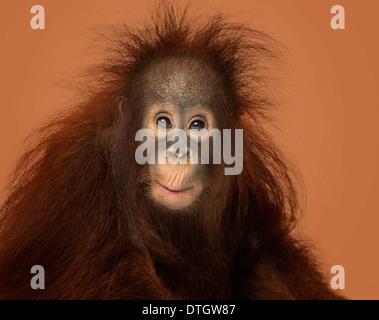 Young Bornean Orangutan, Pongo Pygmaeus, 18 Monate alt, auf braunem Hintergrund - Stockfoto