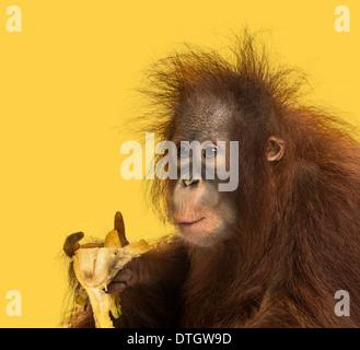 Nahaufnahme von einer jungen Bornean Orangutan Essen eine Banane, Pongo Pygmaeus, 18 Monate alt, vor gelbem Hintergrund - Stockfoto