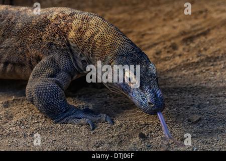Komodo Dragon Porträt. - Stockfoto