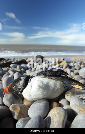 Toten Papageientaucher auf Strand, Puffin, Fratercula Artica, Chesil beach Dorset UK - Stockfoto