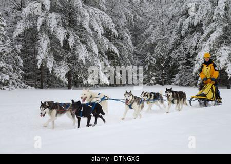 Männliche Musher mit Huskies beenden verschneiten Wald auf sechs Hundeschlitten Event in Marmora Snofest Ontario - Stockfoto