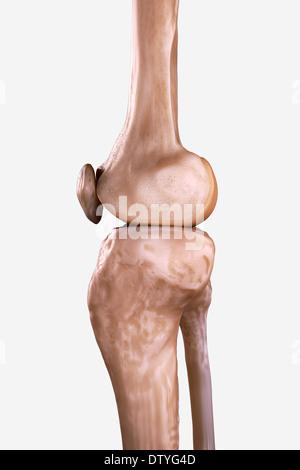 Rechtes Knie Knochen Stockfoto, Bild: 66987870 - Alamy