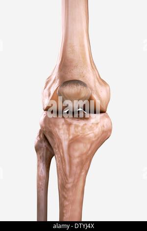 Rechtes Knie Knochen Stockfoto, Bild: 66988221 - Alamy