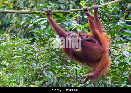 Eine Mutter und Ihr Baby Orang-Utan (Pongo Pygmaeus) hängen an einem Seil in Borneo, Malaysia - Stockfoto