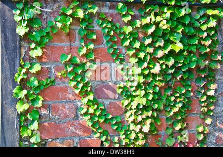 Efeu an der Mauer Stockfoto