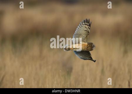 Sumpfohreule (Asio Flammeus) Jagd über grobe Grünland am Pilling Moss, Lancashire. Dezember. - Stockfoto