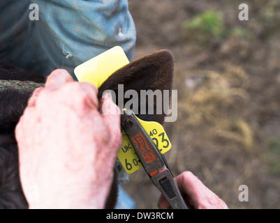 Dh VIEH UK Tagging Kalb Ohr mit Tracking indentity id-Tag zum Stichwort Tier Kuh tags - Stockfoto