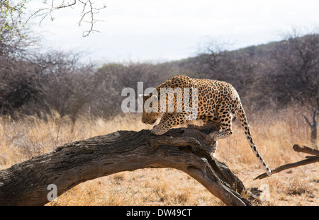 Namibia Afrika Leopard in Wild auf Okonjima Private Reserve im Okonjima Bush Camp auf Safari Africat Foundation - Stockfoto