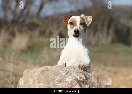 Jack Russel Terrier Hund / Erwachsenen auf einem Felsen steht - Stockfoto