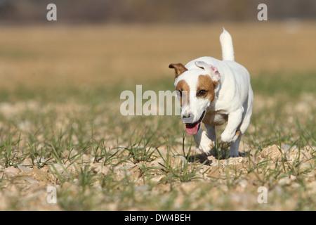 Jack Russel Terrier Hund / Erwachsene in einem Feld - Stockfoto