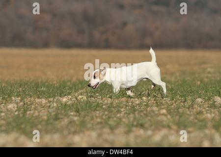 Jack Russel Terrier Hund / Erwachsene zu Fuß in ein Feld - Stockfoto