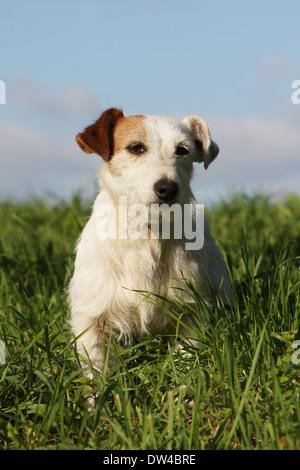 Jack Russel Terrier Hund / Erwachsener (Draht Haar) sitzen auf einer Wiese - Stockfoto