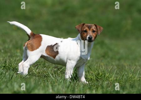 Jack Russel Terrier Hund / Erwachsenen stehen auf einer Wiese - Stockfoto