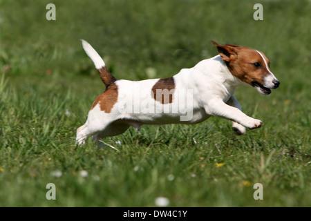 Jack Russel Terrier Hund / Erwachsene laufen auf einer Wiese - Stockfoto