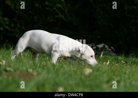Jack Russel Terrier Hund / Erwachsene in einer Wiese riechen - Stockfoto