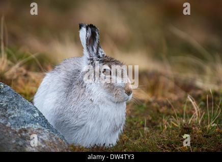 Schneehase (Lepus Timidus) in weiß winter Fell, Highlands, Schottland, Großbritannien - Stockfoto