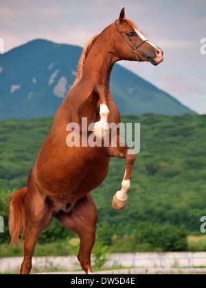 Ein Arabisches Pferd Aufzucht. Nahaufnahme - Stockfoto