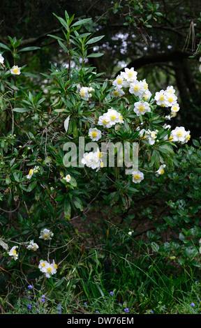 Carpenteria Californica Bush Anemone weiße Blumen Blüte Blume ...