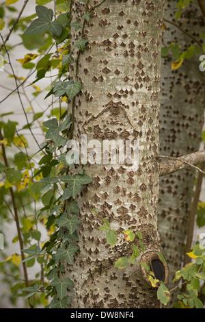 Stamm mit gemeinsamen Efeu (Hedera Helix) Dordogne Frankreich November Silberpappel (Populus Alba) in Nahaufnahme - Stockfoto
