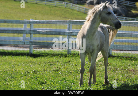 Welsh Pony - Stockfoto