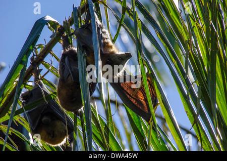 Graue Spitze Flughund Pteropus poliocephalus - Stockfoto
