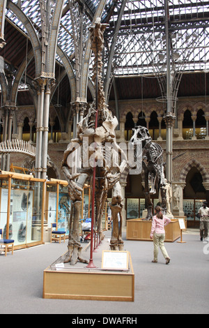 Dinosaurier-Skelette in Oxford Natural History Museum - Stockfoto