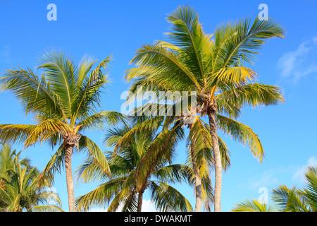 Palmen in Mami Beach, Florida, USA - Stockfoto