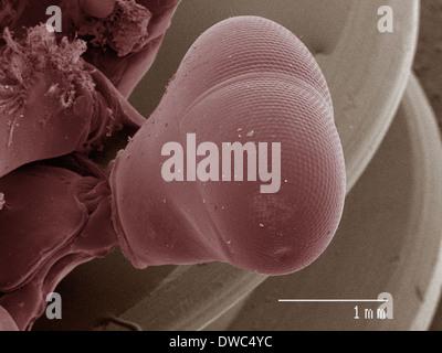 Farbige SEM der Mantis Shrimp Auge - Stockfoto