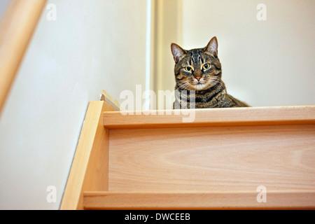 Hauskatze mit Makrele Tabby-Zeichnung liegen oben auf der Treppe im Haus - Stockfoto