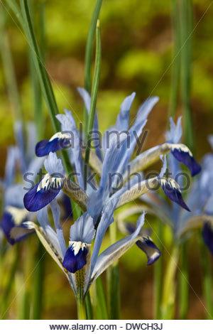 iris reticulata clairette fr he blume fr hling blumenzwiebeln februar hellblauen blumen bl te. Black Bedroom Furniture Sets. Home Design Ideas
