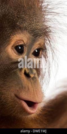 Nahaufnahme von einem jungen Bornean Orangutan, Pongo Pygmaeus, 18 Monate alt, vor weißem Hintergrund - Stockfoto