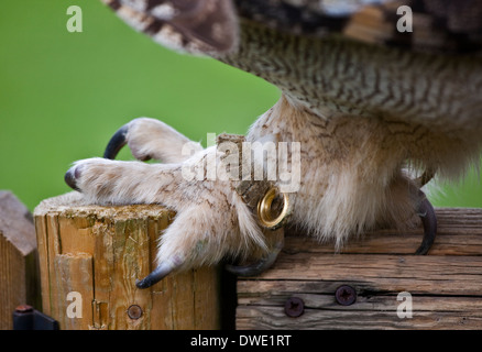Nahaufnahme von einer Klaue eine Sibirische Uhus (Bubo Bubo Sibiricus) - Stockfoto