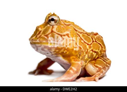 Argentinische gehörnten Frosch, Ceratophrys Ornata, vor weißem Hintergrund - Stockfoto