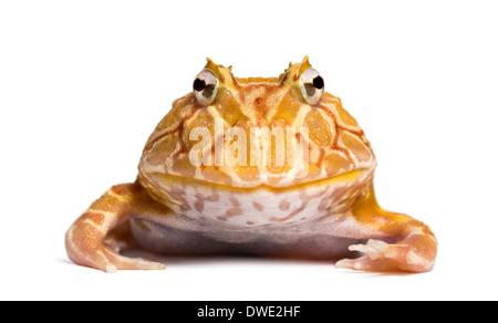 Vorderansicht eines argentinischen gehörnten Frosch schaut in die Kamera, Ceratophrys Ornata, vor weißem Hintergrund - Stockfoto