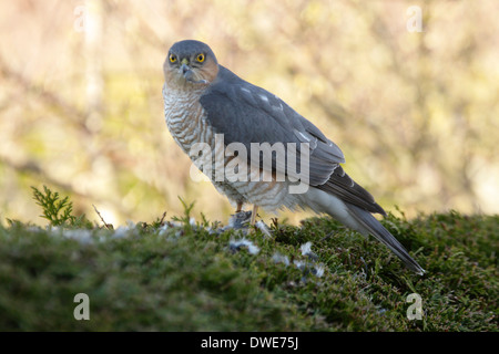 Sparrowhawk Accipiter Nisus Scotland UK - Stockfoto