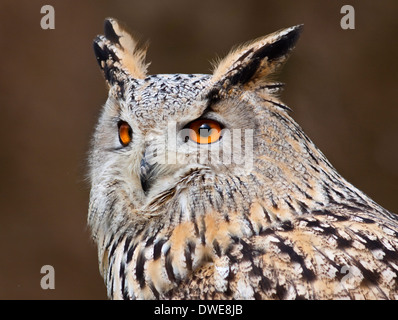 """Sibirischer Uhu (Bubo Bubo Sibiricus) weibliche """"Zucker Blätterteig"""", Libertys Raptor und Reptile Centre, Ringwood, - Stockfoto"""