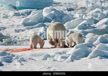 Eisbär - Stockfoto