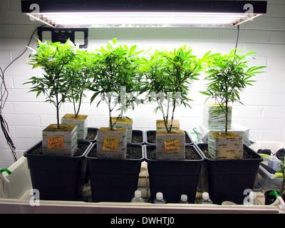 Hanfpflanzen in eine legalisierte Cannabis zu speichern, in Kalifornien, USA - Stockfoto